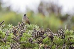 Vit-krönad sparv & x28; Zonotrichialeucophrys& x29; Royaltyfri Fotografi