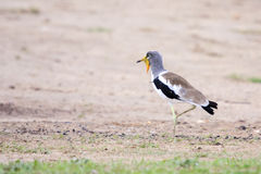 Vit-krönad vipa (brockfågeln) Fotografering för Bildbyråer