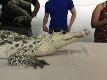 Vit krokodil Royaltyfri Bild