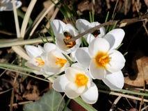 Vit krokus i marschen, bi som samlar första nektar av säsongen arkivfoto