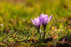 Vit krokus - vårblomma Fotografering för Bildbyråer