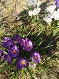 vit krokusblomning som är purpurfärgad och royaltyfria bilder