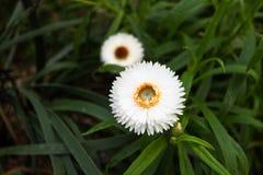 Vit kronbladblomma Arkivbilder