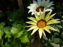 Vit kronbladblomma med den härliga gula och bruna mitten royaltyfri foto
