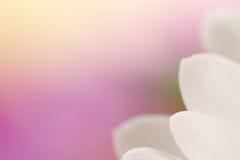 Vit kronbladblommabakgrund. Royaltyfria Foton