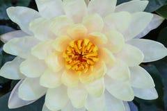 Vit kronbladlotusblomma för bästa sikt med gult pollen som blommar naturmodeller för textur eller bakgrund royaltyfria bilder