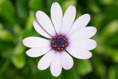 Vit kronbladtusensköna med lilamitten Royaltyfri Foto