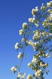 Vit krullning för rosor i en trädgård Royaltyfri Foto