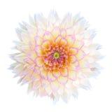 Vit krysantemumblomma med den isolerade lilamitten Royaltyfri Foto