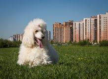 Vit kunglig pudelhund som ligger på det gröna gräset royaltyfri fotografi