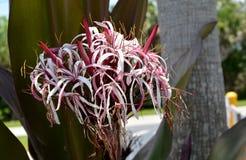 Vit kust- blomma II för rosa färger och Royaltyfria Foton