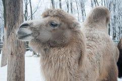 Vit kvinnlig kamel Arkivbilder