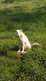 Vit kvinnlig varg som sitter i ett gräs- fält royaltyfri bild