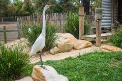 Vit lång halsfågel Fotografering för Bildbyråer