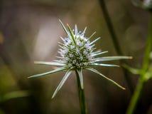Vit lös blomma västra Australien royaltyfria foton