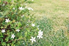 Vit lövverk, ljust solsken, vår, morgon, gräs- fält, vitt gräs Royaltyfri Fotografi