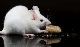 Vit labbmus som äter mat Royaltyfria Bilder