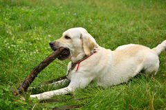 Vit labrador hund som tuggar på en pinne Arkivfoto