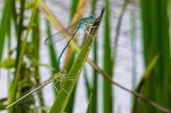 Vit-lade benen på ryggen damselflies som parar ihop närbild Arkivfoto
