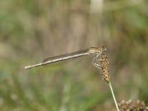 Vit-lagd benen på ryggen damselfly, Platycnemis pennipes Fotografering för Bildbyråer