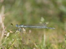 Vit-lagd benen på ryggen damselfly, Platycnemis pennipes Royaltyfri Fotografi