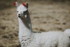 Vit lama med röda garneringar på öron arkivfoto