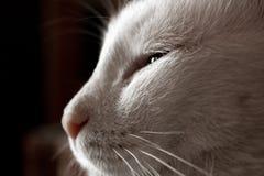 Vit lat katt Arkivfoto