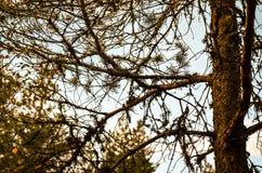 Vit lav som är fullvuxen på höstliga skogträd Arkivfoto