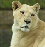 Vit lejoninna på den stora Cat Sanctuary Arkivfoto
