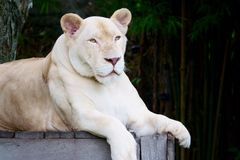 Vit lejoninna p? Khao Kheow den ?ppna zoo, Pattaya Thailand arkivbild