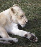 Vit lejoninna som vilar på gräs royaltyfri foto