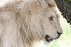 Vit lejonman Arkivbilder
