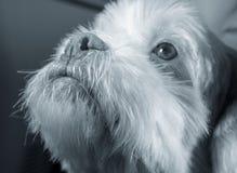 Vit lhasa apsohund som ser upp som, om fråga för något Fotografering för Bildbyråer