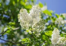 Vit lila blomning i blå himmel som är botanisk, vårnaturbakgrund, blommande trädgård Fotografering för Bildbyråer