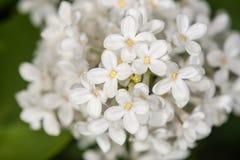 Vit lila i vår Arkivfoton