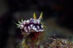 Vit-, lila- och svartnudibranch Undervattens- foto filippinskt arkivfoton