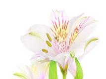 Vit lilja Arkivbild