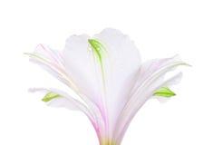 Vit lilja Royaltyfria Foton