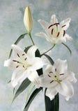 Vit lilja Royaltyfri Fotografi