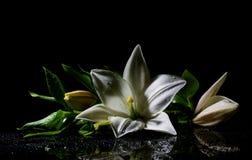 Vit lilja för friskhet arkivfoton