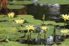 Vit lilja för vatten Royaltyfri Foto