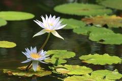 Vit lilja för vatten Arkivfoton
