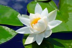 Vit lilja i det blåa vattnet Royaltyfri Fotografi