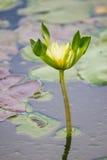 Vit lilja i det blåa vattnet av sjön bland de gröna sidorna Arkivbild