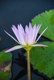Vit lilja i det blåa vattnet av sjön bland de gröna sidorna Fotografering för Bildbyråer