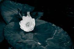 Vit lilja i vatten på sjön Arkivfoto