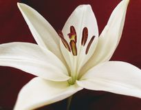 Vit lilja, isolerad röd bakgrund arkivfoton