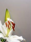 Vit lilja med den oöppnade knoppen på vit Arkivfoton