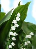 Vit lilja med gröna sidor royaltyfri bild