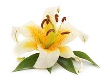 Vit lilja med sidor Royaltyfria Bilder